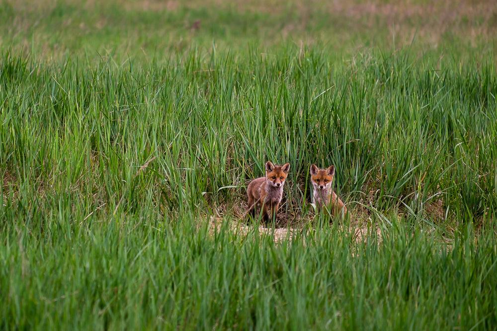 Zwei junge Füchse am Bau