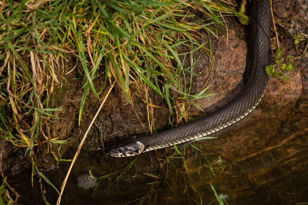 Ringelnatter (<i>Natrix natrix</i>) – grass snake